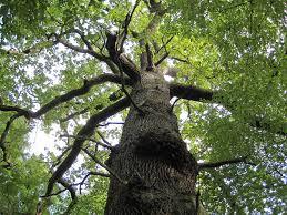 Formation en ligne sur les 13 arbres guérisseurs