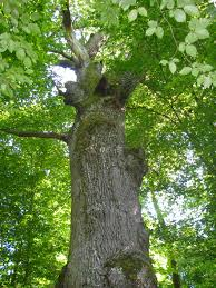 retrouver sa souveraineté avec le chêne